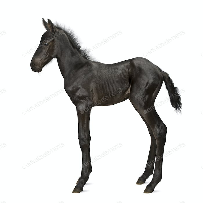 Foal, 1 week old, standing against white background