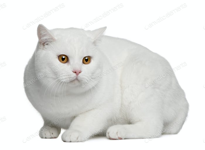 British shorthair cat, 15 months old, sitting in front of white background