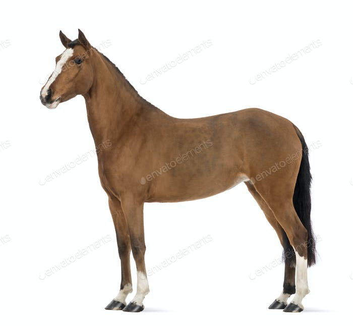 Side view of a Female Andalusian, 3 years old, also known as the Pure Spanish Horse or PRE
