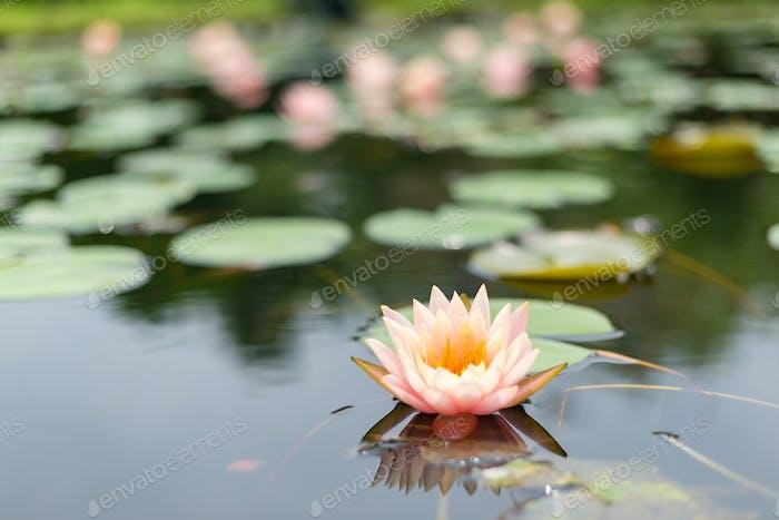 Lotus in der Natur