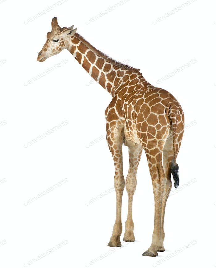 Somali Giraffe, commonly known as Reticulated Giraffe, Giraffa , 2 and a half years old