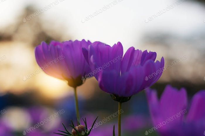 Purple cosmos with sun rising
