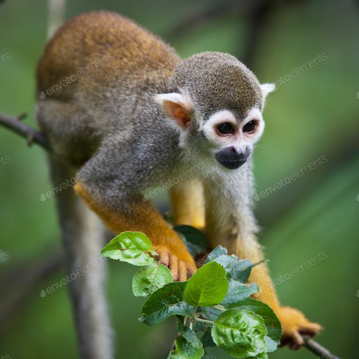 Close-up of a Common Squirrel Monkey (Saimiri sciureus; shallow