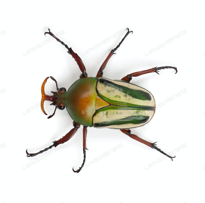Male Flamboyant Flower Beetle or Striped Love Beetle, Eudicella gralli hubini