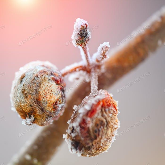 faule Äpfel mit Frost bedeckt