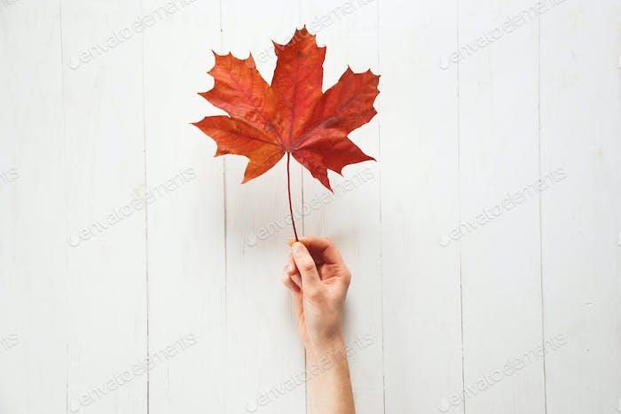 Rotes Ahornblatt in der Hand der Frau auf weißem Holztisch