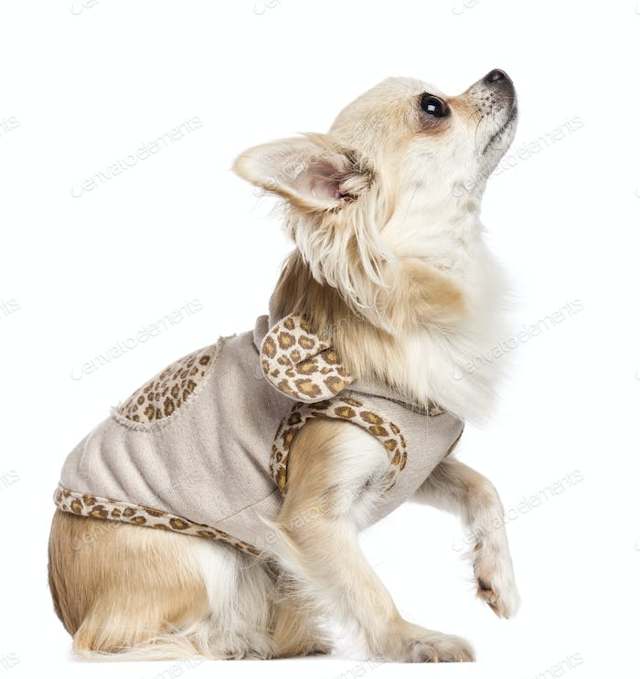 Chihuahua sitting, dressed and looking up against white background