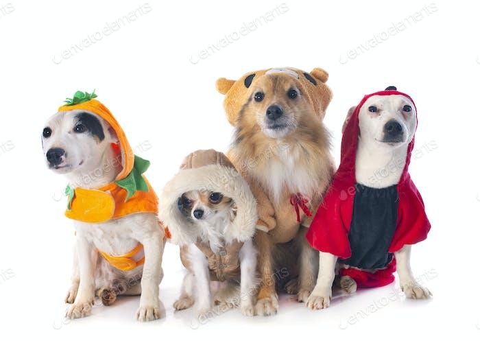 dressed dogs in studio