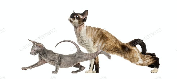 Devon Rex, Peterbald Kätzchen, vor weißem Hintergrund
