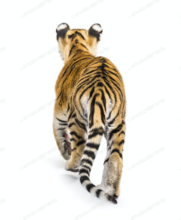 Back view of a two months old tiger cub walking against white background