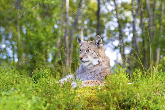 Eurasian lynx lying in the green grass