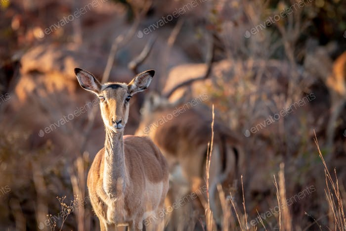 Young female Impala starring at the camera.
