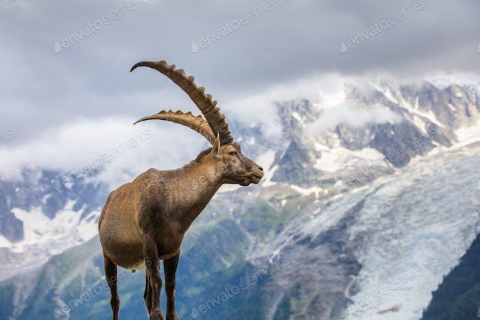 Steinbock (Capra Steinbock) in Mont Blanc, Frankreich