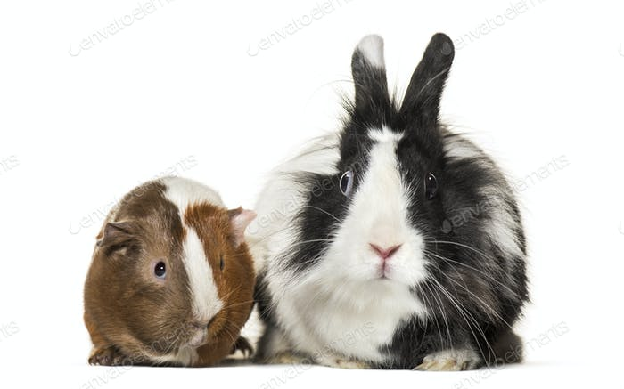 Guinea pig and rabbit together sitting against white background