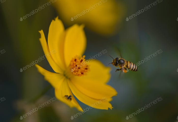 Bee flying in front of yellow flower