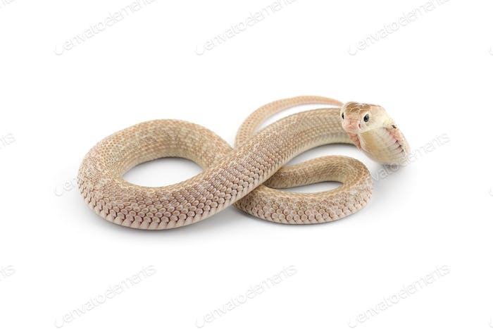The Chinese cobra isolated on white background