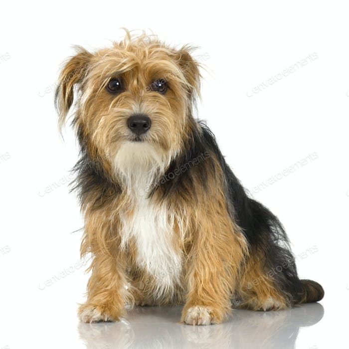 young Yorkshire Terrier ( 9 months)