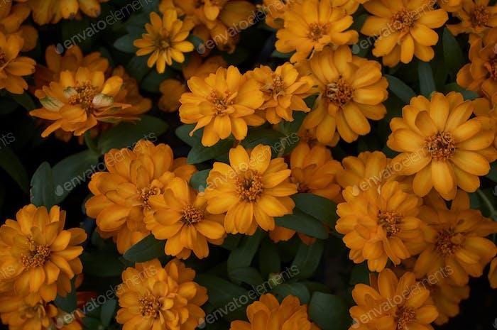 Hintergrund der gelben Blume in der Blüte