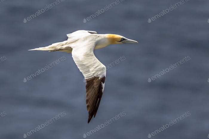 Northern gannet in flight against marine background