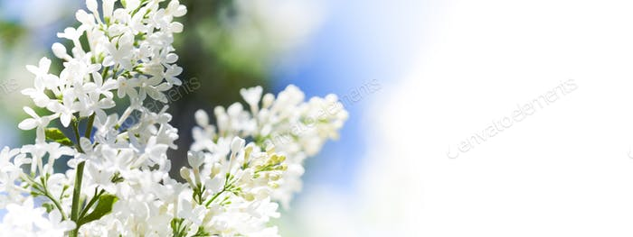 Blossoming common Syringa vulgaris lilacs bush white cultivar