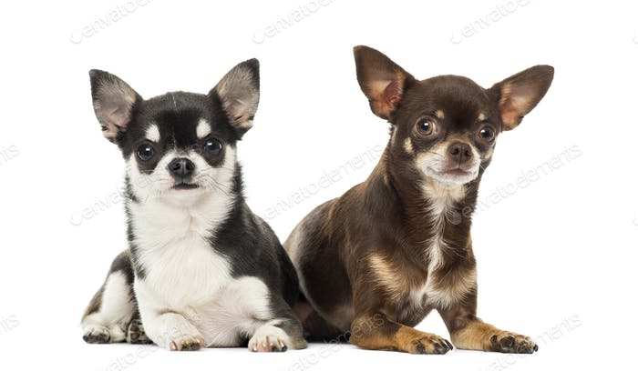Chihuahuas lying along each other, isolated on white