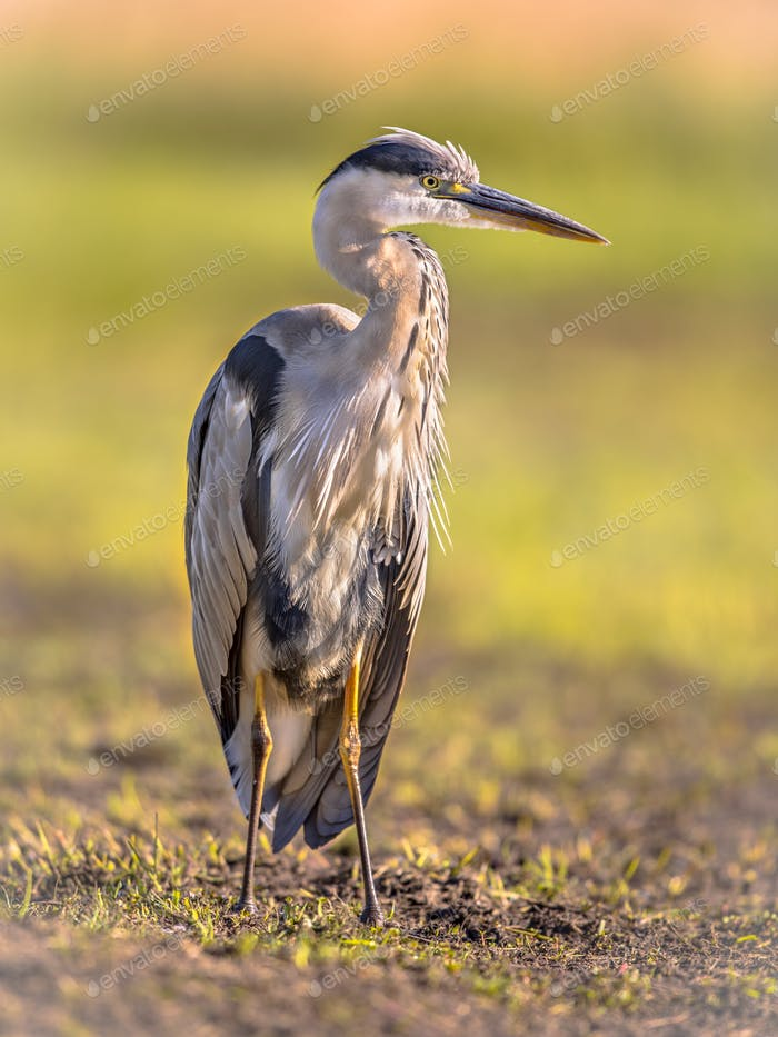 Grey heron waiting in wetland