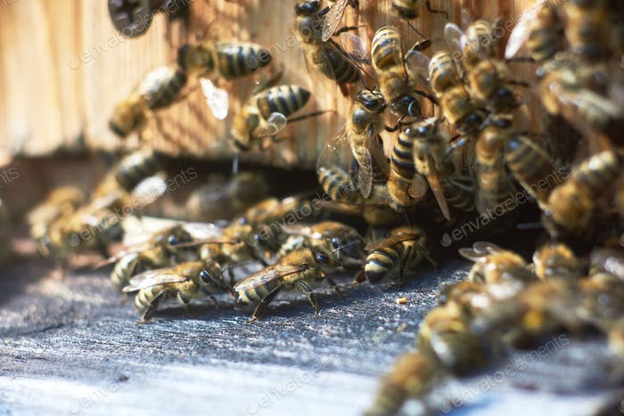 Close up shot of bees on apiary