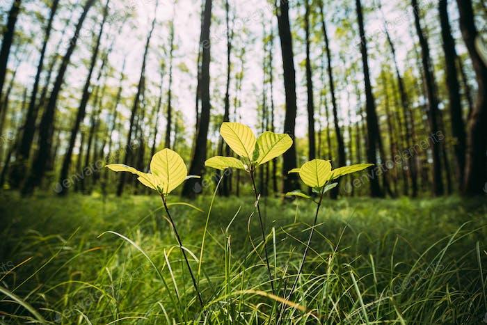 Wachsende kleine junge Frühlingszweige Grüne Bäume. Sommer Sonniger Tag. Weitwinkel