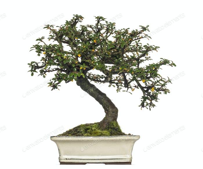 Cotoneaster Horizontalis Bonsai Baum, isoliert auf weiß
