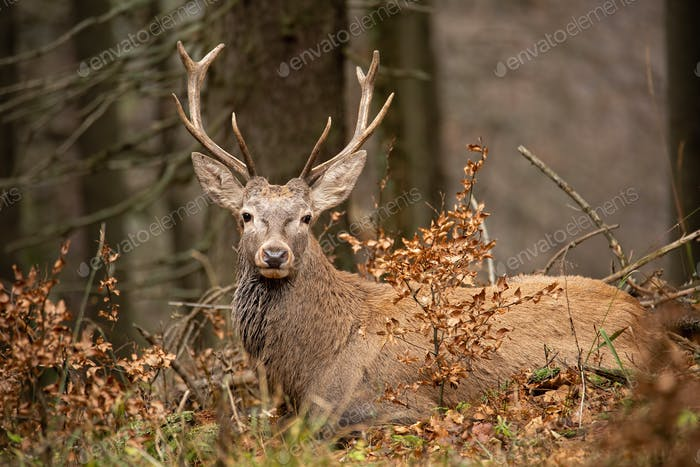 Red deer, cervus elaphus, lying in the autumn forest