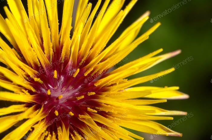 Flower (Reichardia gaditana)