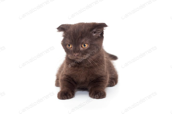 Scottish fold black kitten