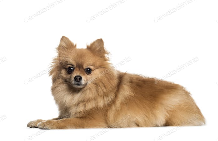 Pomeranian, 3 years old, lying in front of white background