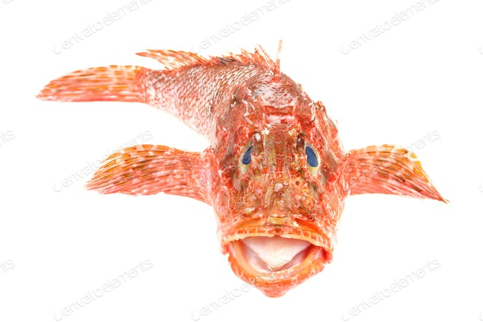 Red Scorpionfish seafood isolated on white background. Front view.