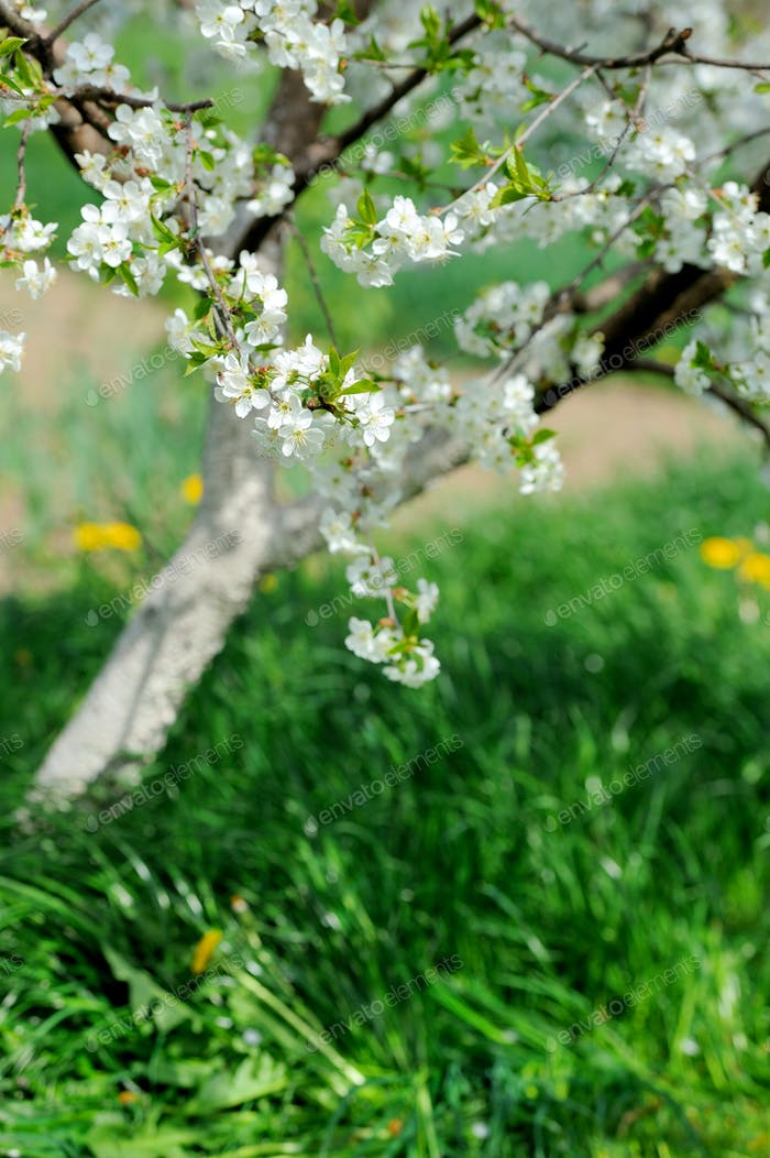 Blossom of apple trees in springtime