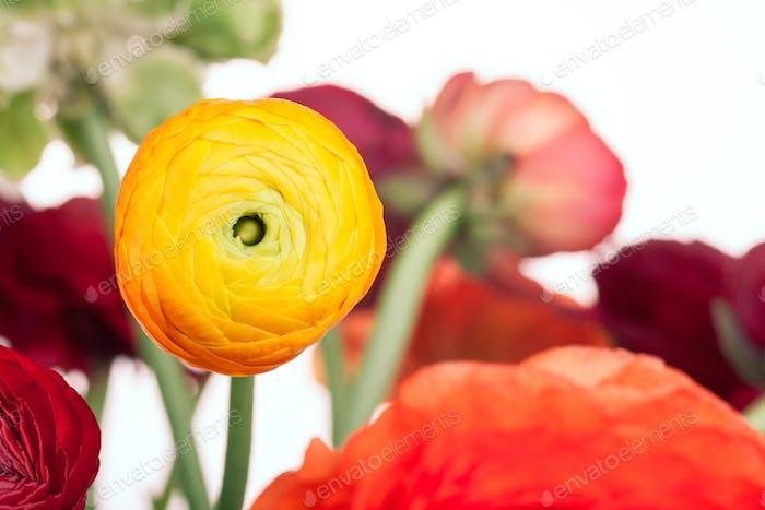 Ranunkulyus Blumenstrauß von roten Blüten auf einem weißen Hintergrund
