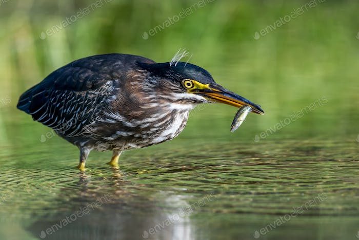 Green Heron - Butorides virescens, a juvenile catches a fish for breakfast.