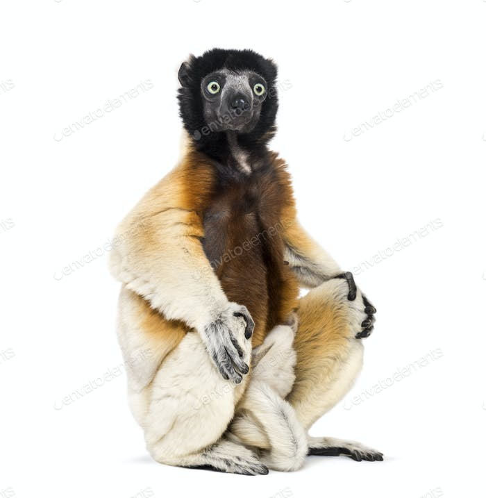 Mother Crowned Sifaka and her two months old baby sitting against white background