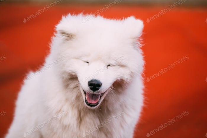 Nahaufnahme von glücklich lächelnd junge weiß samoyed Hund