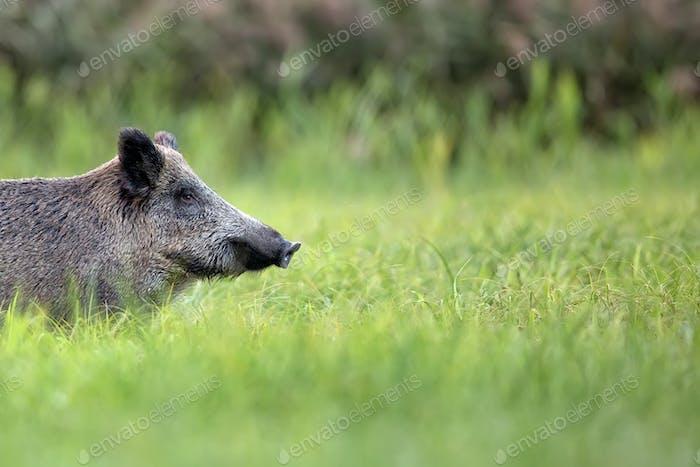 Wild boar, a portrait