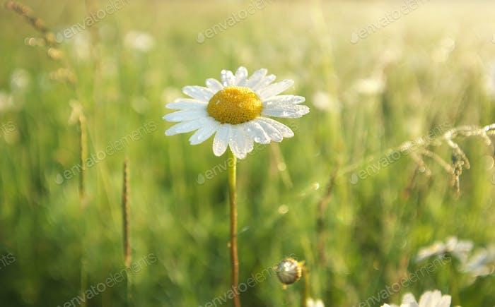 Daisy flower portrait.
