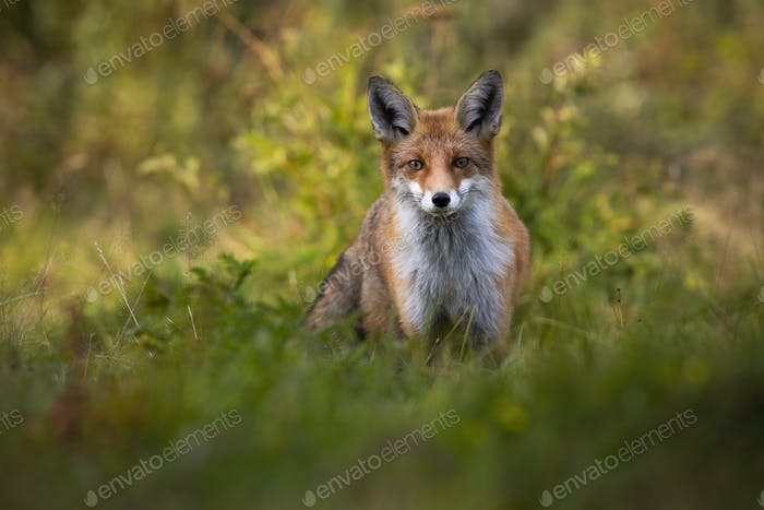 Tense red fox staring into camera on green glade with copy space