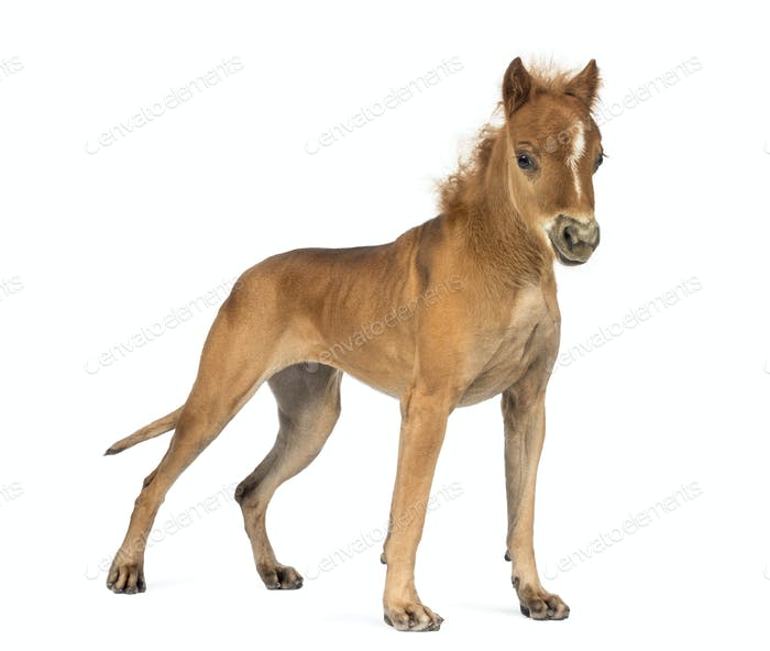 Great Dane, 4 years old, with head of foal against white background