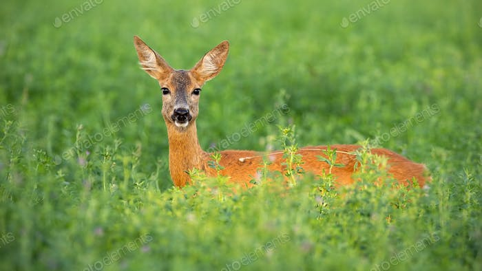 Roe deer doe standing out on clover field in summer