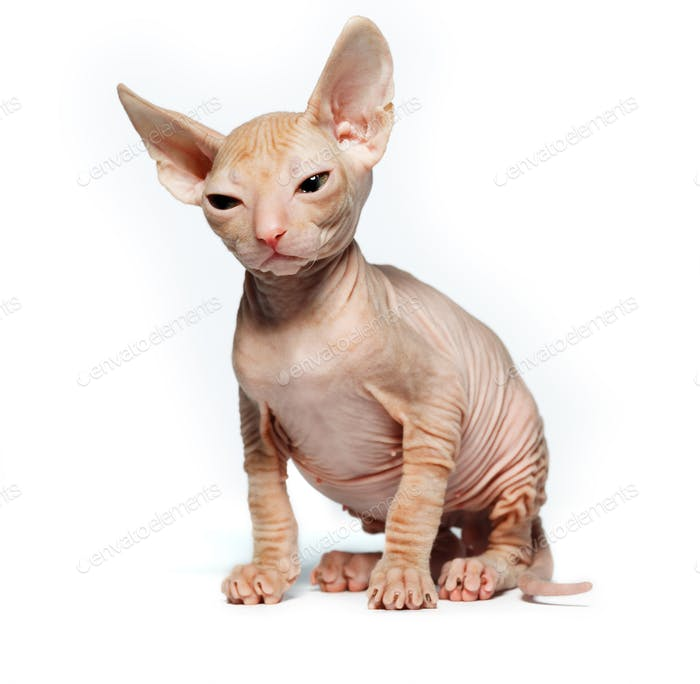 Don sphynx kitten on a white