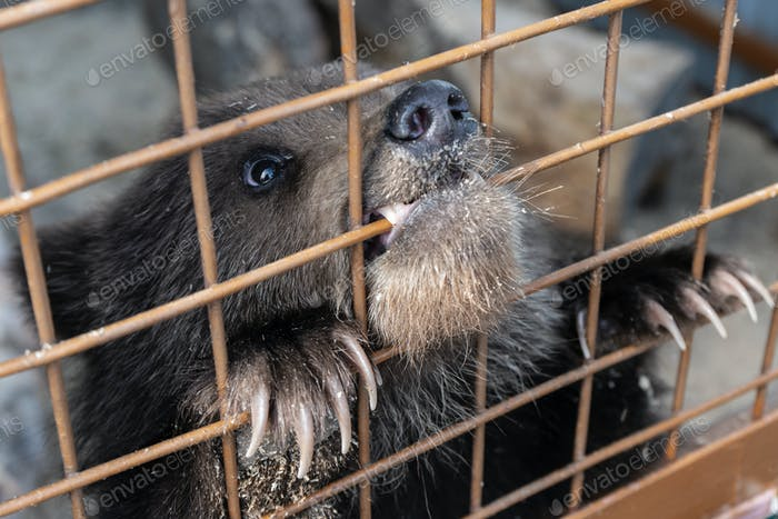 Small Kamchatka Brown Bear Cub Gnaws an Aviary Lattice in Zoo