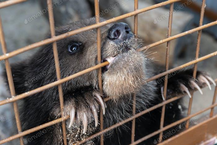 Small Kamchatka Brown Bear Cub Gnaws an Aviary Lattice in Zoo