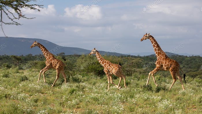 giraffe in the african national park