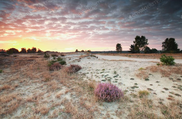 red sunrise over sand dunes and heather