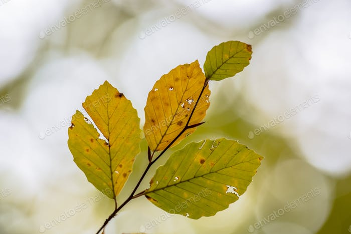 Battered Autum leaves of Beech